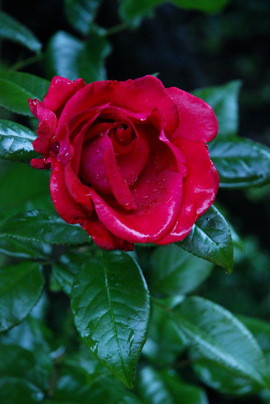 Vier Raben Rose mit Regentropfen